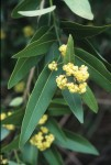 California Bay Laurel; Photo by Karen Callahan