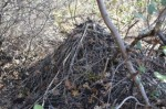 wood rat's nest