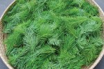 Douglas Fir Tips