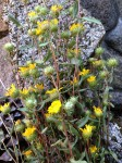 Grindelia for Lung Congestion