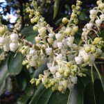 Madrone Blossoms